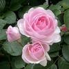 3年目のオリビアローズオースチン、迫力を増した春の開花!
