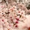 桜を撮ってきたよ