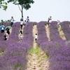 上海薰衣草節(ラベンダー祭り)-莫斯利安香草園でポートレート