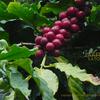 アラビアコーヒー Coffea arabica