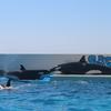 「鴨川シーワールド ① -千葉県- 」 シャチのショーがすごい!日本で唯一のシャチショーは必見です💛