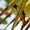 ベリーズ 熱帯の野鳥 Fooded Oriole (フーデッド オリオール)