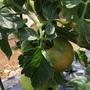 市民菜園で野菜づくりに挑戦!12 〜トマト色づき?!?