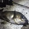 【メバル】豪風の真冬の港でビフテキ釣法をした結果→根魚・ナイト・フィーバーで釣果にも震えて徹夜する事態に!【カサゴ】