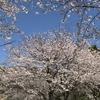 「マダム倶楽部」活動報告 満開の桜を眺めながらお弁当食べてお花見♪とドッグランで出会ったわんこ♪  4月2日
