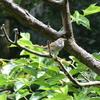 ジィちゃんと探鳥、森戸川源流の野鳥・江ノ島の野鳥/2018-5-29