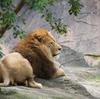 ライオン Panthera leo