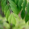 カレーリーフ 「南インドやスリランカでは、独特の香りが料理の風味づけに欠かせない(初めに油で炒めたり,煮込む前に加えたり)」「南インドではテンパーリングにカレーリーフも使われることが多い」とのこと.もとの木,オオバゲッキツは,ミカン科ミカン亜科ゲッキツ属に分類され, DNA解析に基づく系統樹では,ミカン類にかなり近いところに位置づけられます.