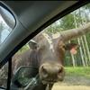 サファリパークの迫力が凄い!アルパカが完全に車内に入ってきてますけど・・・