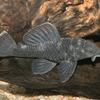 スターライトコンコルドグローボプレコ 1匹 観賞魚 魚 アクアリウム 熱帯魚 ペット