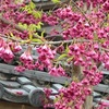 長徳寺のオカメ桜と寒緋桜。見頃や開花状況。
