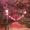 桜と菜の花と夜空の競演〜権現堂の夜桜〜