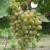 イタリア : ワイン 10  ;   フィアーノ Fiano di Avellino  ナポリ周辺の美味しい白ワイン