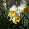 水仙(すいせん)の花
