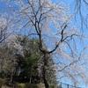多摩川桜百景 -97. からきだの道-