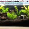 初めての熱帯魚(7)水換えをして、水草を追加したよ!