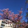 「河津桜が咲いております。」