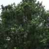 ネパ-ルの樹木と花 第10回目