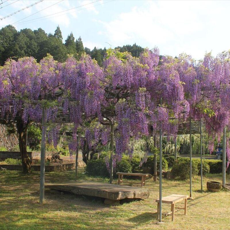 心癒やされる美しさ〜福知山市大江町の藤の花スポット〜