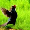 2羽のメスを呼ぶ母衣打ちする雉のオス