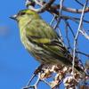水元公園の野鳥 マヒワ他 2021年2月23日