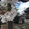 鶴岡公園 春!