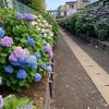小路の紫陽花