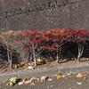 小さな紅葉 錦木
