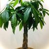 【超初心者】いますぐ始める観葉植物はパキラ!
