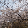 【2020年春】桜とお散歩と