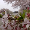 春の山形市 山形城下町のお花見スポットをご紹介🌸