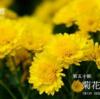二十四節気七十二候 「寒露  菊花開」(2017/10/13)