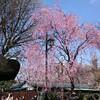 4月初めの休日は、花見を満喫。