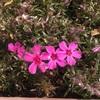 #5 シバザクラ まもなく開花時期