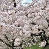 *お花見に行ってきました*春に読みたい【桜の絵本】