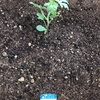 スイカとメロンを植えました
