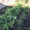 [家庭菜園2020]11月の寒空の下、頑張っていた苗たち