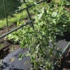 一方で、トマトはまだ収穫できないな