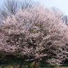 奈良山の辺の道(桜井から柳本まで)の桜とモクレン
