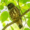 🦜野鳥の回【182】🆕森の番人アオバズク(青葉木菟)