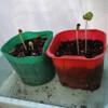 オクラとトマトの苗を植えました