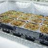 自作した室内育苗器でレタス系3品種の苗を作成中。移植できるまでに何日間かかるでしょうか?