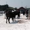 水産のまち気仙沼で牛の共進会