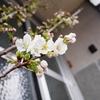 わが家の桜、開花。