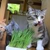 猫草食べごろ