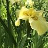 初夏に咲く花菖蒲。咲いていました。