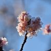 🌸上野公園の寒桜とメジロ🐤