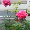 川越便り・薔薇マニア篇
