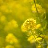 花さんぽ 『吾妻山公園 満開の菜の花』