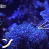 【アクアリウム 】ボタンポリプ スターポリプ
